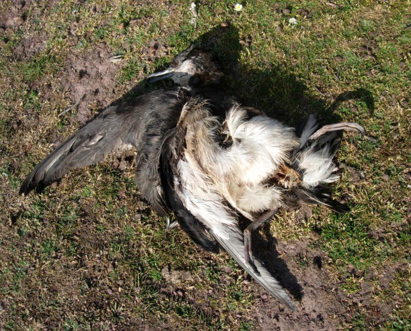 Dead Manx Shearwater