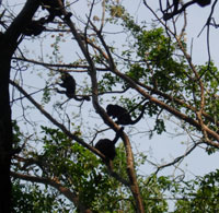 howler-monkeys-for-blog.jpg