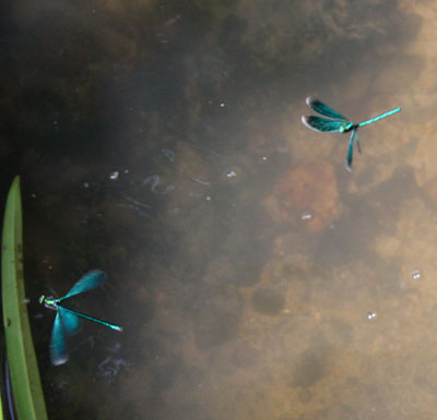 Flying beautiful demoiselles