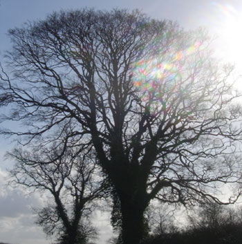 Norfolk tree