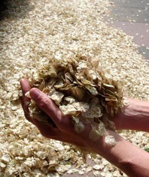 Holding elm seeds