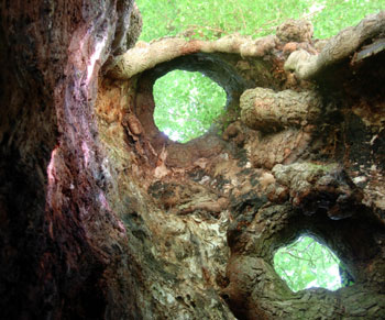 Inside an elm tree