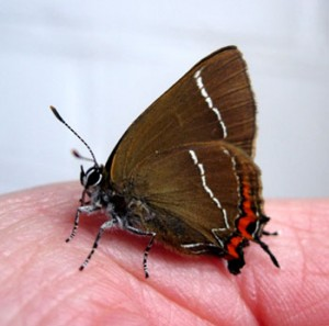 White Letter Hairstreak on hand