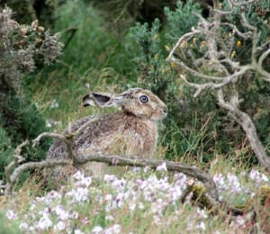 Hare on Havergate Island