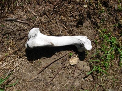 Boar Bone?