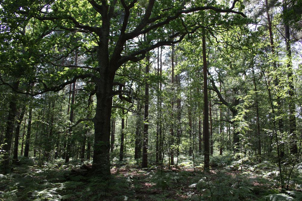 Flatropers Wood