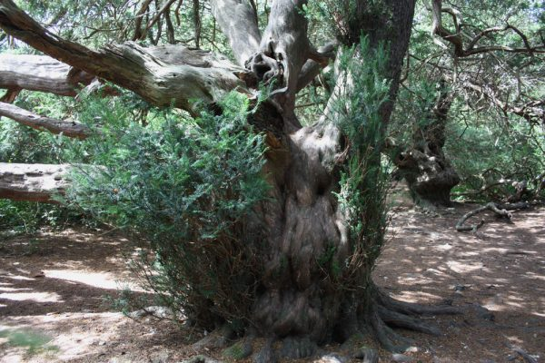 Kingley Vale yew tree