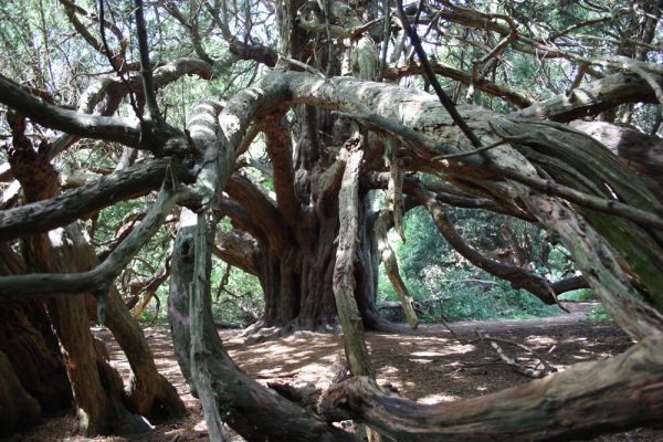 Yew at Kingley Vale