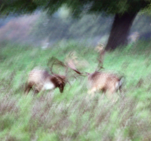 The Fallow Deer Rut at Knepp