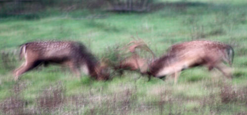 Rutting Deer at Knepp