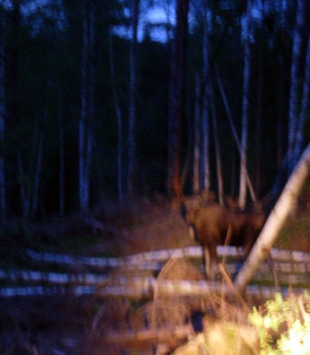 Moose in the Darkness