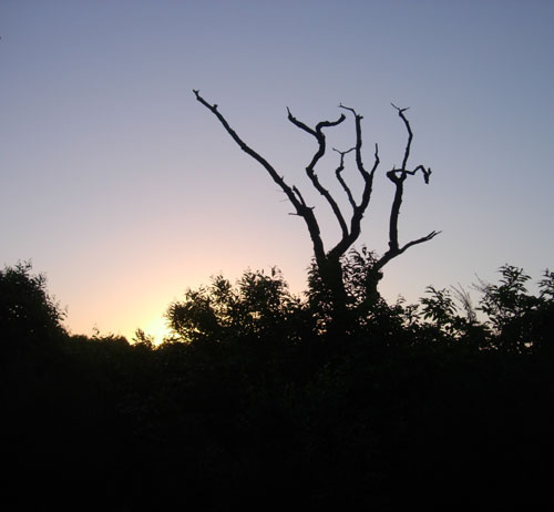 The Chestnut Coppice at Dawn