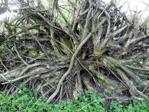 Fallen Tree Showing Roots
