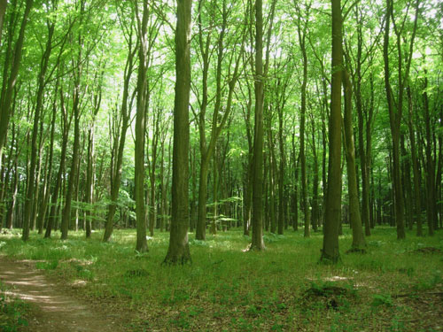 Beech Wood Plantation
