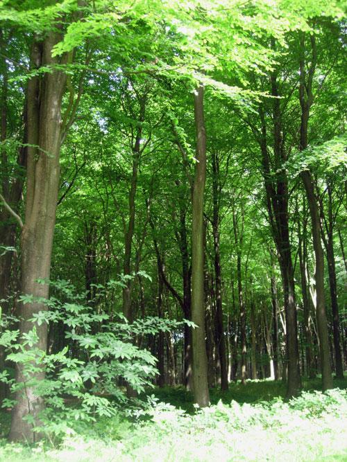 Edge of the Beech Wood