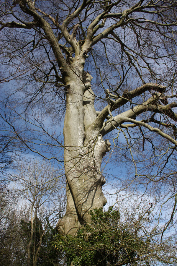 Big beech in Dead Beech Lane