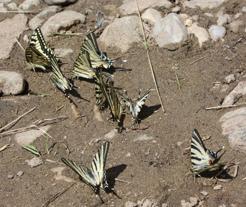 Swallowtails and Scarce Swallowtails