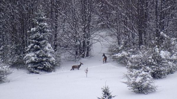 Red Deer in the Snow