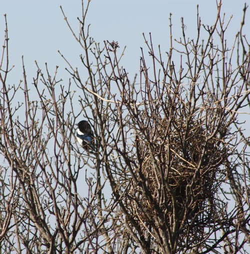 Magpie and Nest
