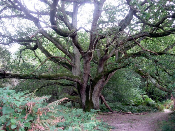 Oak at Markstakes Common