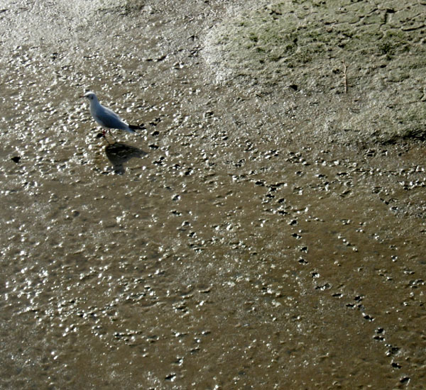 River Adur Gull Mud