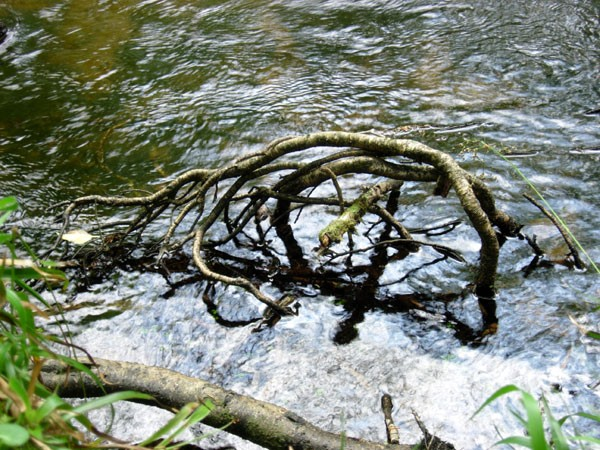River Dart Root