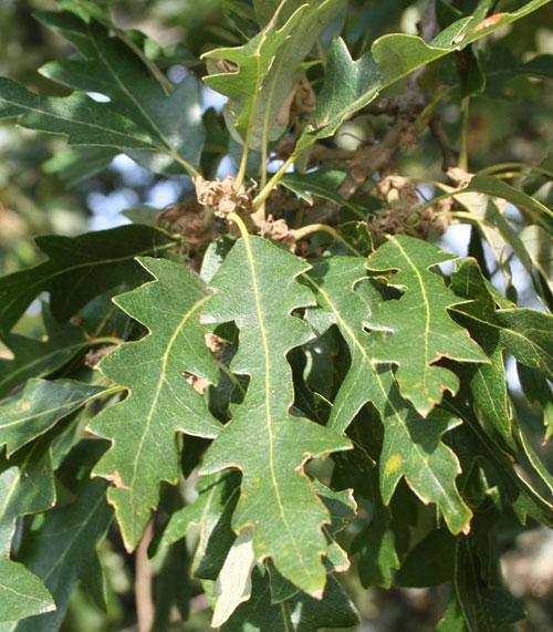 Turkey Oak Leaves