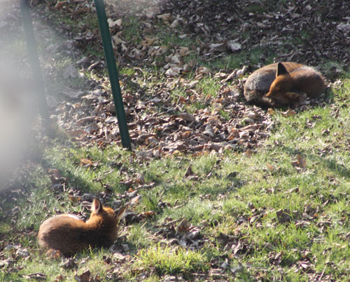 Two Sleeping Foxes
